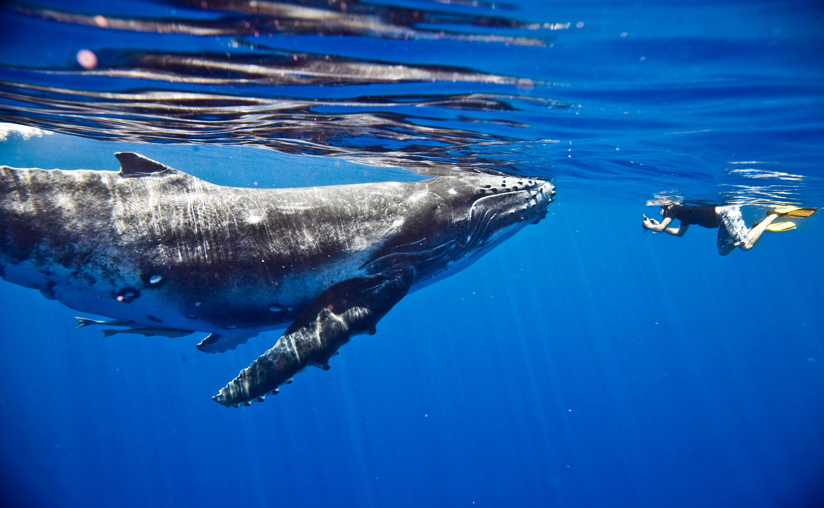 South Pacific Humpback Whales